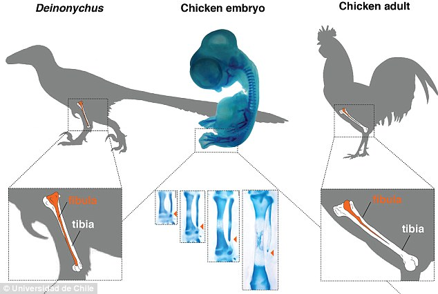 To achieve the long dinosaur-like bone, the researcher inhibited a maturation gene called Indian Hedgehog. With this suppressed, the chickens maintained their tubular fibula, which remained long and connected to the ankle like a dinosaur    Read more: http://www.dailymail.co.uk/sciencetech/article-3487977/Scientist-grow-dinosaur-leg-CHICKEN-bizarre-reverse-evolution-experiment.html#ixzz5ClNCp1gX  Follow us: @MailOnline on Twitter | DailyMail on Facebook