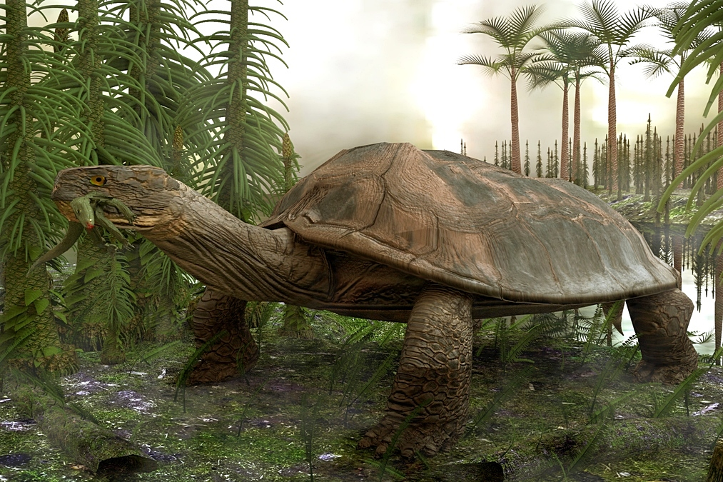 The enormous freshwater turtle, that existed around 60 million years ago, is depicted here having just snapped up a crocodylomorph from a patiently awaited lakeside ambush. The adult turtle would have been about the same size as a Smart car, and the shell could have been inverted and used as a kiddie pool. Fossil evidence suggest that the jaws were very powerful and most likely would have crushed mollusks and crocodiles with a single snap. Its large size would have made it virtually impervious to attack from the larger crocodillian species of the era. The turtle evolved in a period after the dinosaurs. This is only an artistic depiction since there is not much fossil remains at this time.