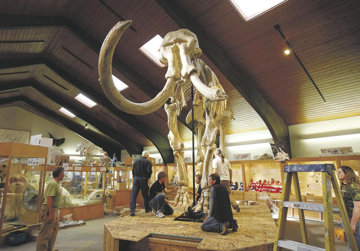 Dee the Mammoth, who was discovered near Glenrock, Wyoming, is displayed at the Tate Geological Museum at Casper College.