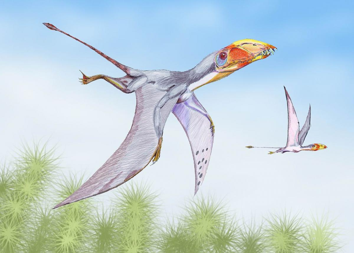 Restoration of a pair of D. macronyx