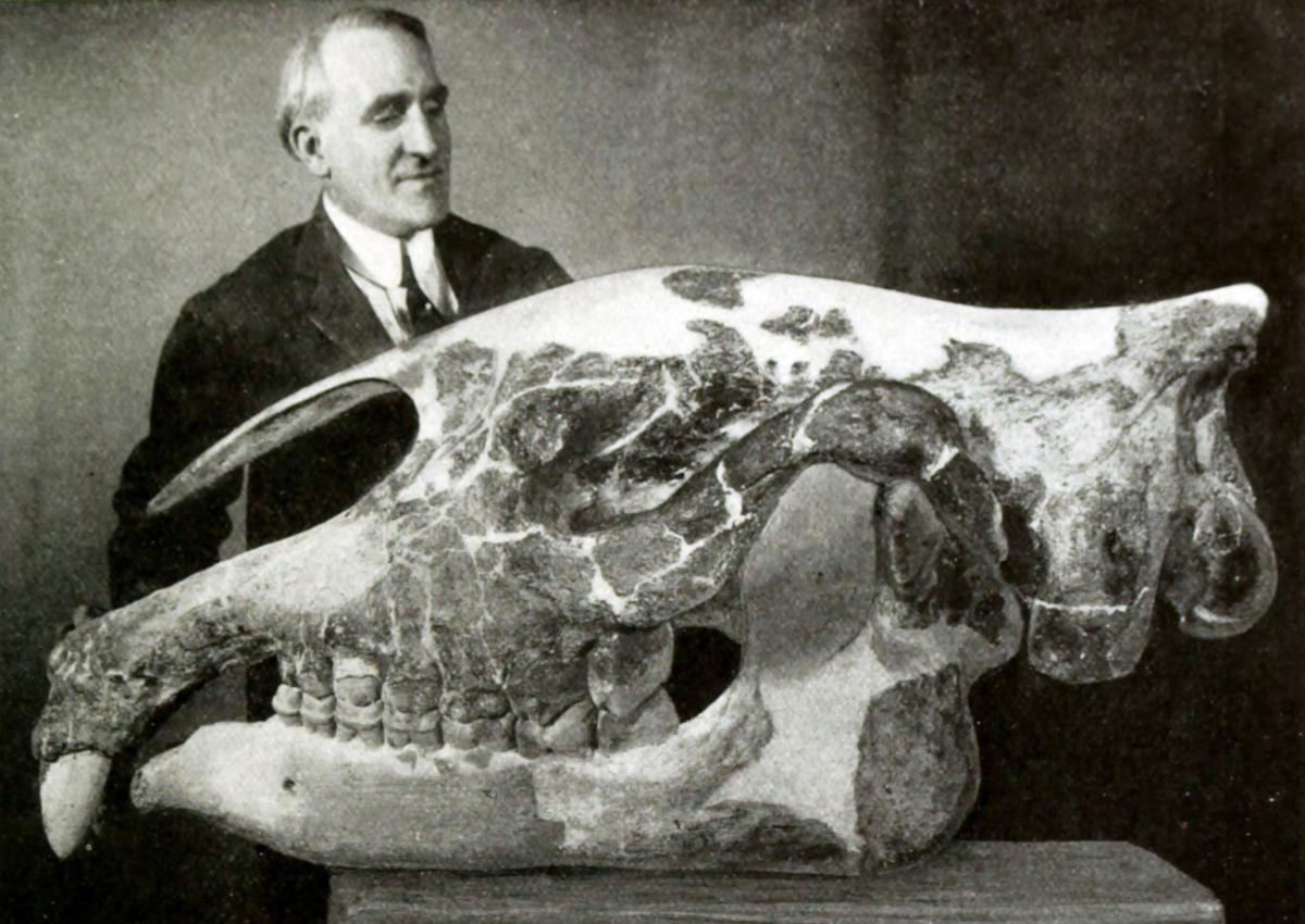 Preparator Otto Falkenbach with P. transouralicum skull (specimen AMNH 18650), formerly assigned to Baluchitherium grangeri, American Museum of Natural History