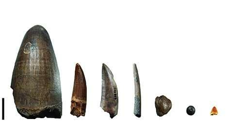 Teeth from the Gadoufaoua deposit (Niger). From left to right: teeth of a giant crocodile, Sarcosuchus imperator, a spinosaurid, a non-spinosaurid theropod (abelisaurid or carcharodontosaurid), a pterosaur, a hadrosaurid (a herbivorous dinosaur), a pycnodont (fish), and a small crocodylomorph. AUGUSTE HASSLER / LGL-TPE / CNRS-ENS DE LYON-UNIVERSITÉ LYON 1