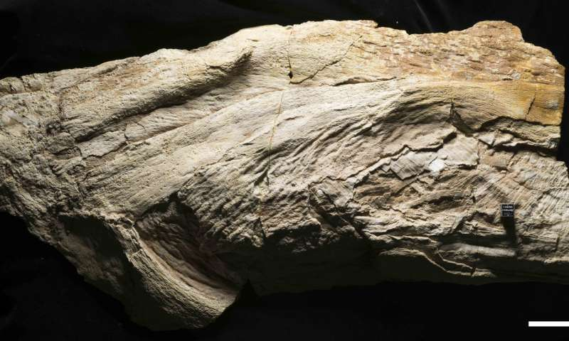 A photo of the Platylithophycus cretaceus specimen. The scale bar is 5 centimeters. Credit: © Mike Eklund