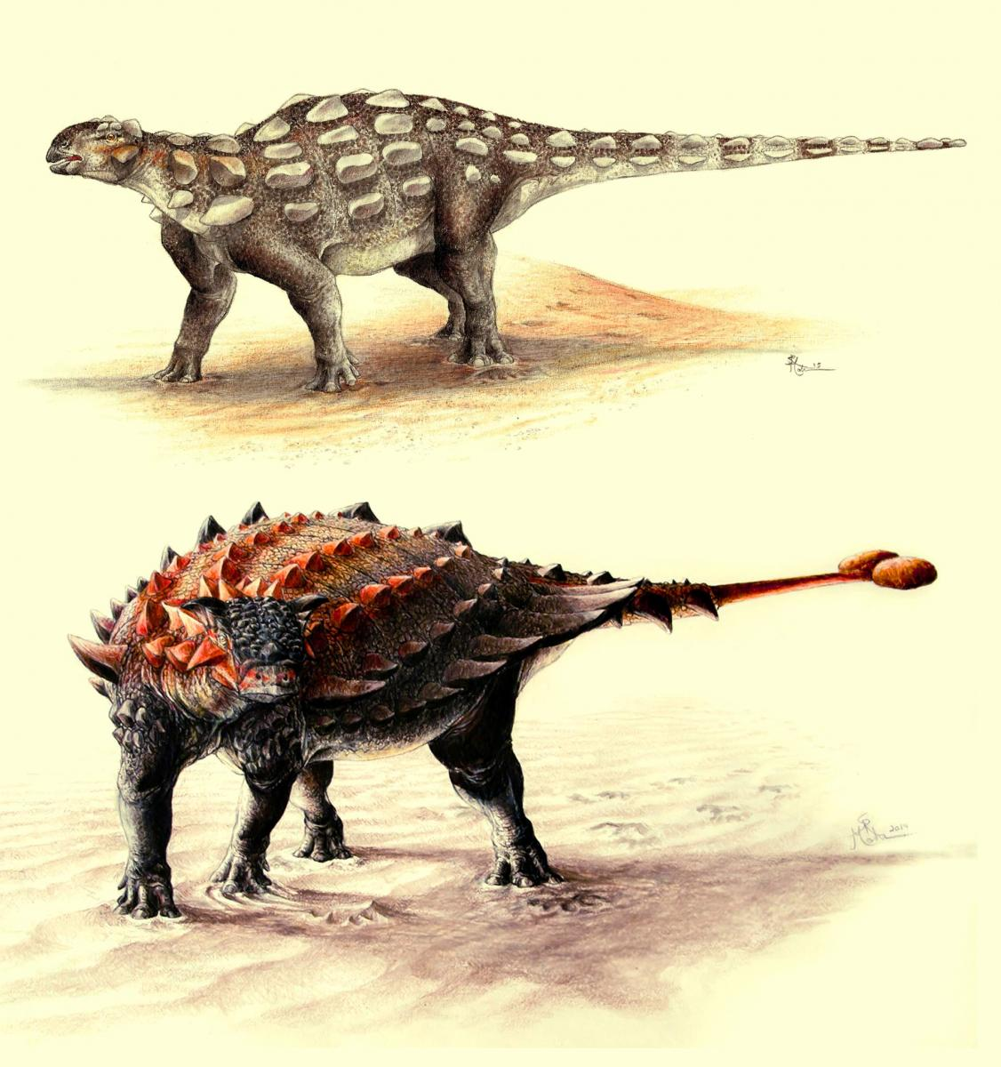 Gobisaurus, an ankylosaur with a stiff tail but no knob of bone at the end, compared with Ziapelta, an ankylosaur with a fully developed tail club. Image credit: Sydney Mohr.