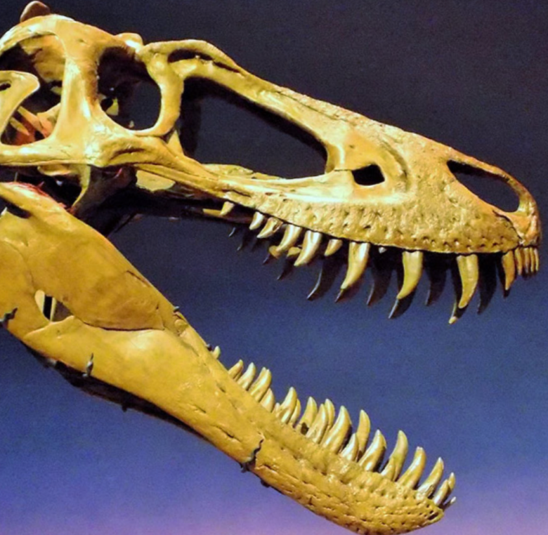 "The fossilized skull of ""Jane,"" a juvenile T. rex at a museum in Rockford, Illinois. She is estimated to have been about 13 years old at the time of death. She was slender, with knife-like teeth not yet big enough to crush bone. Image via Scott A. Williams/ OSU."