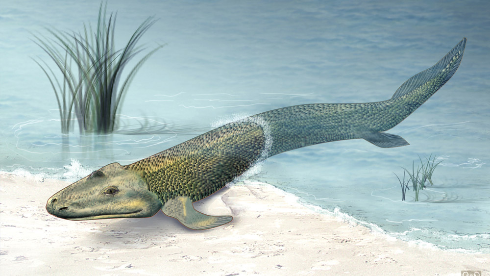 "An illustration of what the sea creature Tiktaalik may have looked like. Known as a ""fishapod,"" Tiktaalik bridged the gap between sea living and land living creatures, and played an important evolutionary role on our journey to becoming human. Zina Deretsky/National Science Foundation"