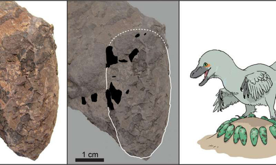 An egg of Himeoolithus murakamii (left), outlined egg with intact eggshell remains (black area) (middle), and reconstruction of Himeoolithus murakamii and their probable parent dinosaur (right). Credit: University of Tsukuba and Museum of Nature and Human Activities,Hyogo