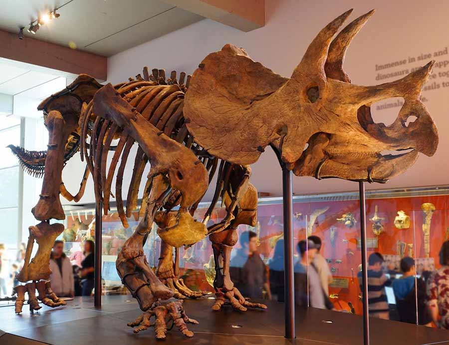 Triceratops mounted skeleton at Los Angeles Museum of Natural History.