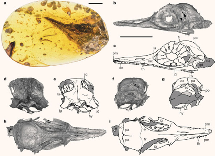 Photograph, computed tomography scans and interpretive drawings of the Oculudentavis khaungraaea specimen: (a) photograph of the amber piece with skull ventrolaterally exposed; scan (b) and drawing (c), left lateral view; scan (d) and drawing (e), rostral view; scan (f) and drawing (g), occipital view; scan (h) and drawing (i), dorsal view. Abbreviations: de – dentary, fr – frontal, hy – hyoid bone (or bones), jg – jugal, la – lacrimal, mx – maxilla, pa – parietal, pm – premaxilla, po – postorbital, qd – quadrate, sc – scleral ossicle, so – supraoccipital, sq – squamosal, th – teeth. Scale bars – 5 mm; longer scale bar below (b) applies to (b-i). Image credit: Xing et al, doi: 10.1038/s41586-020-2068-4.
