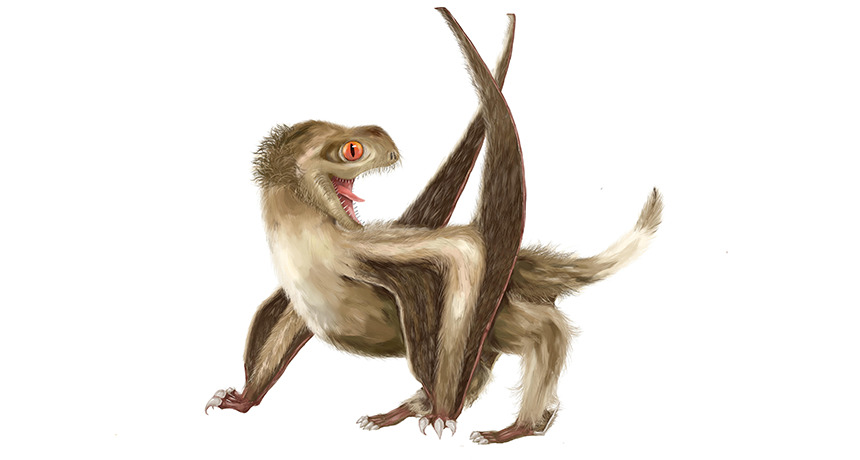 This pterosaur (seen here in an illustration) was covered in different sorts of hairlike fuzz. Their structure is the same as the protofeathers that covered some dinosaurs.  YANG ZHANG